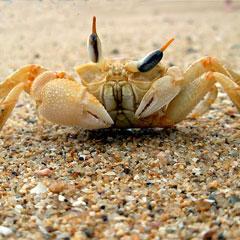 ¿Sabes por qué los cangrejos caminan hacia atrás? Aprendamos juntos…