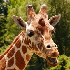 ¿Sabes por qué la lengua de las jirafas es negra? Hélo ahí…