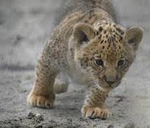 ¿Hijo de tigre y león? Aunque usted no lo crea. El liligre; nacieron en Siberia, Rusia…