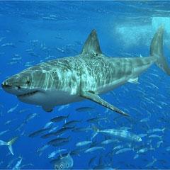 Aprendamos juntos: ¿Sabes cuántos dientes tiene un tiburón?