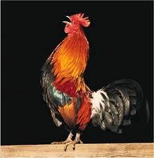 ¿Sabías para qué y por qué cantan los gallos? Hélo ahí…