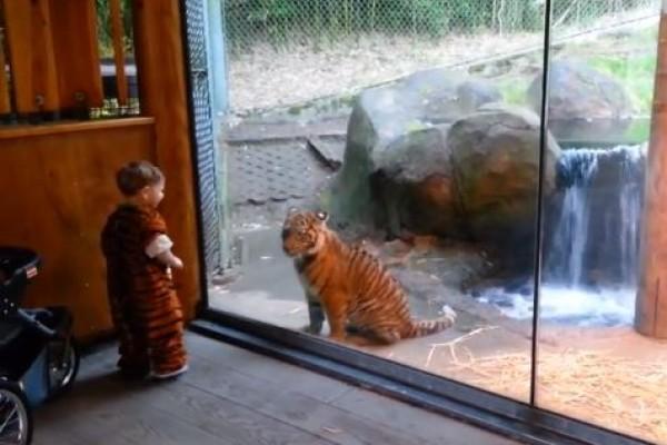 Niño se entretiene jugando con un tigre (Video)