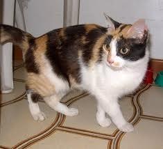 NOTA CURIOSA: Los gatos de tres colores siempre son hembras. Anótalo…