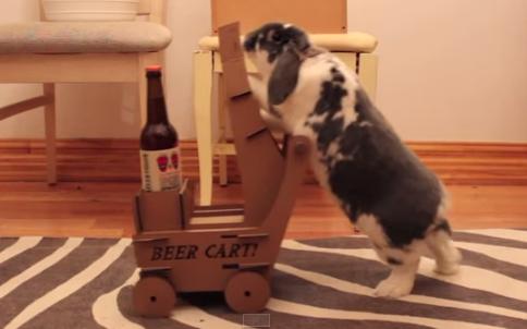 ¡INCREÍBLE! Bebedor enseña a su conejo a traerle cerveza. VIDEO…