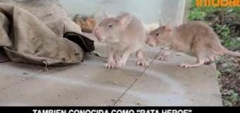 VIDEO: las ratas que salvan vidas