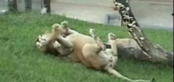 Un león en libertad muestra alegría de ser libre. VIDEO…