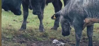 INCREÍBLE: Foca bebé apareció en un potrero de vacas…