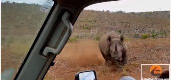 """VIDEO: Rinoceronte """"se killó"""" porque le tomaban fotos y arremetió"""