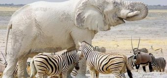 ¿CONOCE UD la leyenda del Elefante Blanco? Anótelo. Video…
