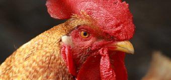 COSAS DOMINICANAS: El  Tíguere Gallo o Tíguere Palito. AUDIO…
