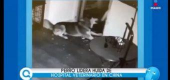 Perro imita a Chapo y escapa de hospital; también ayudó compañeros. VIDEO.