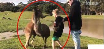 Niño fue golpeado por canguro y sus padres no pudieron contener la risa. VIDEO…
